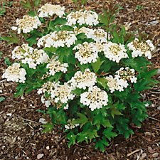 Plants2Gardens Viburnum Opulus Compactum in 5 Litre Pot