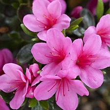 Plants2Gardens Azalea Corany Shrub in 8 Litre Pot