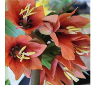 Mont Rose of Guernsey 3 x Fritilaria Imperialis Chopin Bulbs