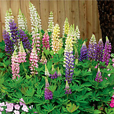 Hayloft Plants 5 x Lupin Camelot Young Plants