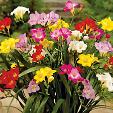 de Jager 75 x Single Freesias Bulb Collection