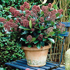 Hayloft Plants 2x Skimmia Rubella in 10.5cm Pots with Red Fluted Pot Covers