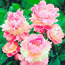 512549 - Mont Rose 3 x Multi Layered Peony Sorbet Bare Roots