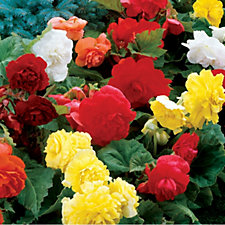507450 - de Jager 9 x Large Flowering Double Begonias Bulbs