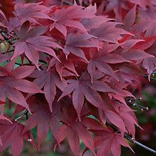 517450 - Plants2Gardens Acer Palmatum Atropurpureum Shrub