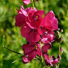Claire Austin 3 x Sidalcea 9cm Pot Plants