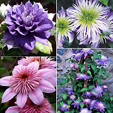 Raymond Evison 3 x Double Flowered Clematis in 7cm Pots