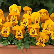 512452 - Thompson & Morgan 24 x Viola Sorbet Honey bee Plug Plants