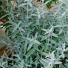 512752 - Plants2Gardens Buddleja Silver Anniversary in 4.5 Litre Pot