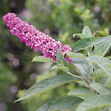 Hayloft Plants Buddleia Pink Microchip in 9cm Pot