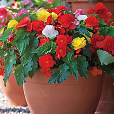 Thompson & Morgan 30 x Begonia Non-Stop Mixed Garden Ready Plants