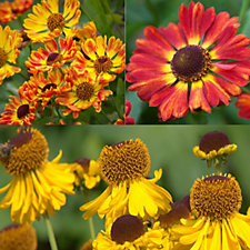508354 - Mont Rose Fairweathers Helenium Fiery Shades in 3 x 9cm Pots