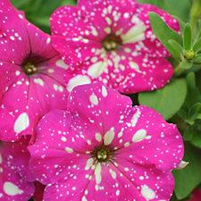 Thompson & Morgan 10 x Petunia Pink Sky Plugs with Fertiliser
