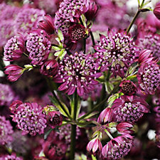 510754 - Mont Rose 3 x Astrantia Abbey Road Grade 1 Bare Rooted Plants