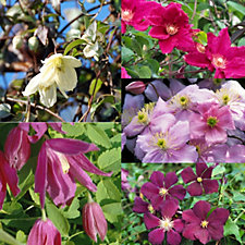 512554 - Mont Rose 5 x RHS AGM Clematis All Year Round Jumbo Plugs
