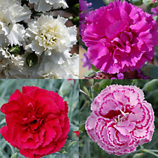 508355 - Whetman Pinks 12 x 80th Year Garden Pinks Plug Plants