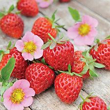 Thompson & Morgan 12 x Strawberry Just Add Cream Plugs with  Hanging Planter