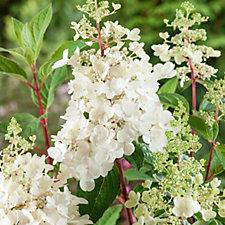 507856 - Plants2Gardens Hydrangea Pinky Winky Shrub in 3 Litre Pot