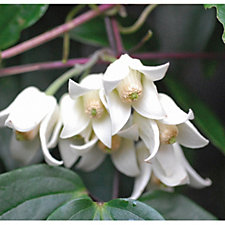 517456 - Thompson & Morgan Clematis Winter Beauty with 2 7cm Pots