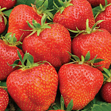 de Jager 6 x Unusual Strawberries Bare Roots