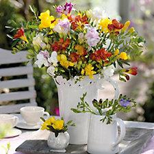 Hayloft Plants 100 X Freesia Mixed Colours Bulbs Collection