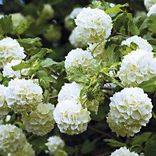 Hayloft Plants 2 x Snowball Trees in 9cm Pots