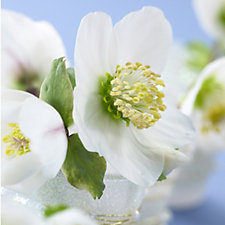 Hayloft Plants 6 x Hellebore Christmas Rose Double Flowering Young Plants