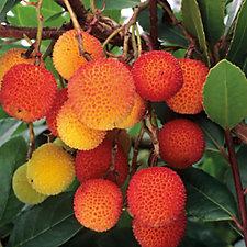 Hayloft Plants Arbutus Unedo Strawberry Tree in 19cm Pot