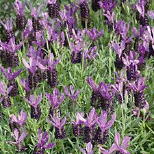 512760 - Plants2Gardens 6 x Lavender Young Plants