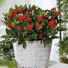 Hayloft Plants Skimmia Temptation In 15cm Pot