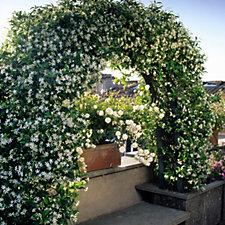 Hayloft Plants Trachelospermum Jasminoides Scented Evergreen Climber