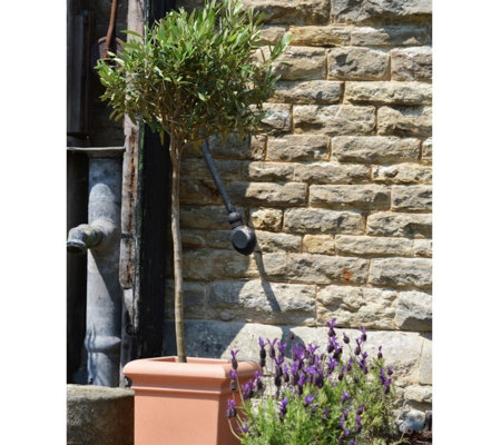 Plants2gardens 2 X Standard Olive Trees In 20cm Pots