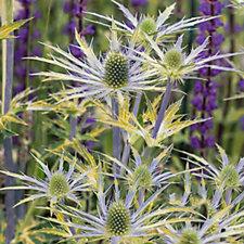 508562 - Plants 2 Gardens 3 x Eryngium Gold Neptunes in 9cm Pots