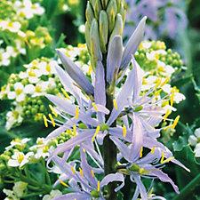 Hayloft Plants 30 x Camassia Bulbs