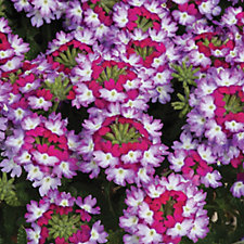 De Jager 6 x Voodoo Verbena Young Plant Collection