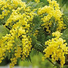 Hayloft Plants Acacia Dealbata Mimosa in 3 Litre Pot