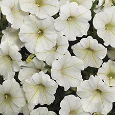 Hayloft Plants 12 x Petunia Shockwave Young Plants