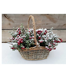 513764 - Hayloft Plants Pernettya Snow Basket