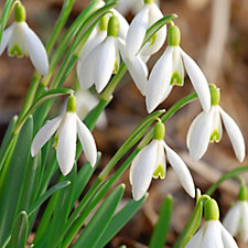 Mont Rose 50 x English Grown Single Flowered Snowdrop Bulbs