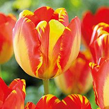 Hayloft Plants 36 x Giant Darwin Hybrid Tulip Bulbs