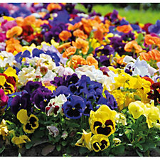 508865 - Thompson & Morgan 60 x Autumn Mixed Garden Ready Plug Plants