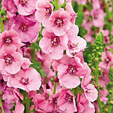 Hayloft Plants 3 x Verbascum Bare Root Collection