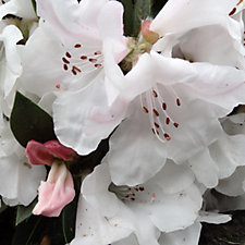 509067 - Plants2Gardens Rhododendron Tinkerbird Shrub with 3L Square Planter