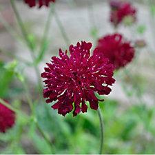 Claire Austin 3 x Scabious Butterfly 9cm Pot Plants
