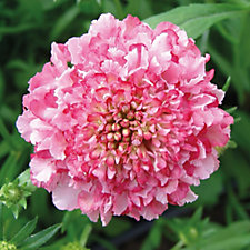 507568 - Hayloft Plants 5 x Scabious Young Plant Collection