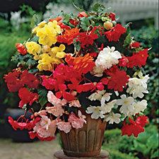 De Jager 7 x Begonia Large Double Flowering & 7 x Pendula Begonias