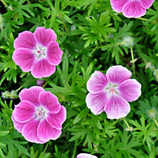 Claire Austin 3 x Little Geranium 9cm Pot Plants