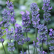 507570 - Hayloft Plants 6 x English Lavender Young Plants Collection