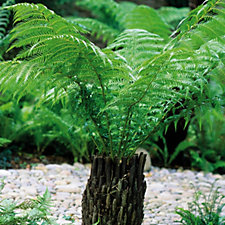 Hayloft Plants Dicksonia Antarctica Tree Fern Potter Log