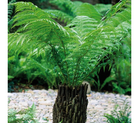 Hayloft Plants Dicksonia Antarctica Tree Fern Potter Log
